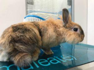 Ambulatorio veterinario Fiocco Scalvi coniglio