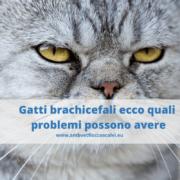 Gatto brachicefaloecco quali problemi possono avere