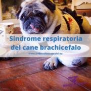 Cani brachicefali: guida alla sindrome respiratoria