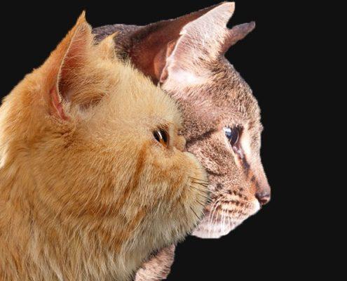 gatti brachicefalici confronto