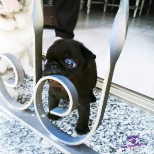 sindrome del cane brachicefalo conseguenze