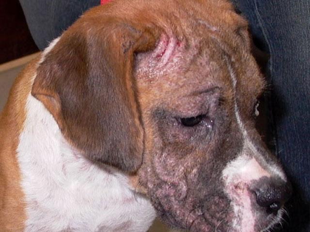 lesione da rogna demodettica nel cane