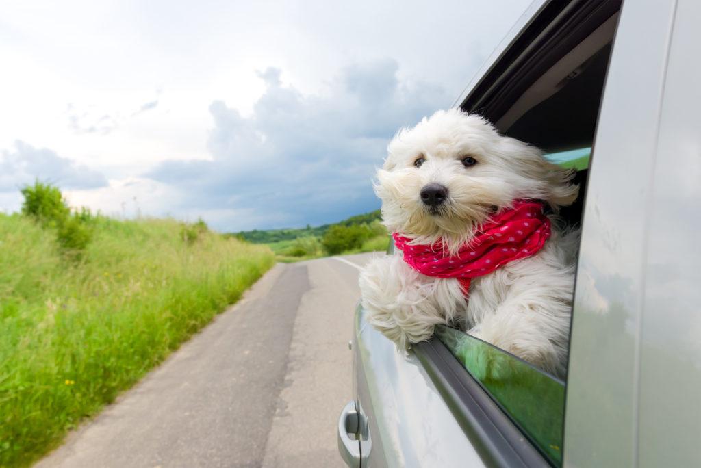 otite nel cane fuori dal finestrino