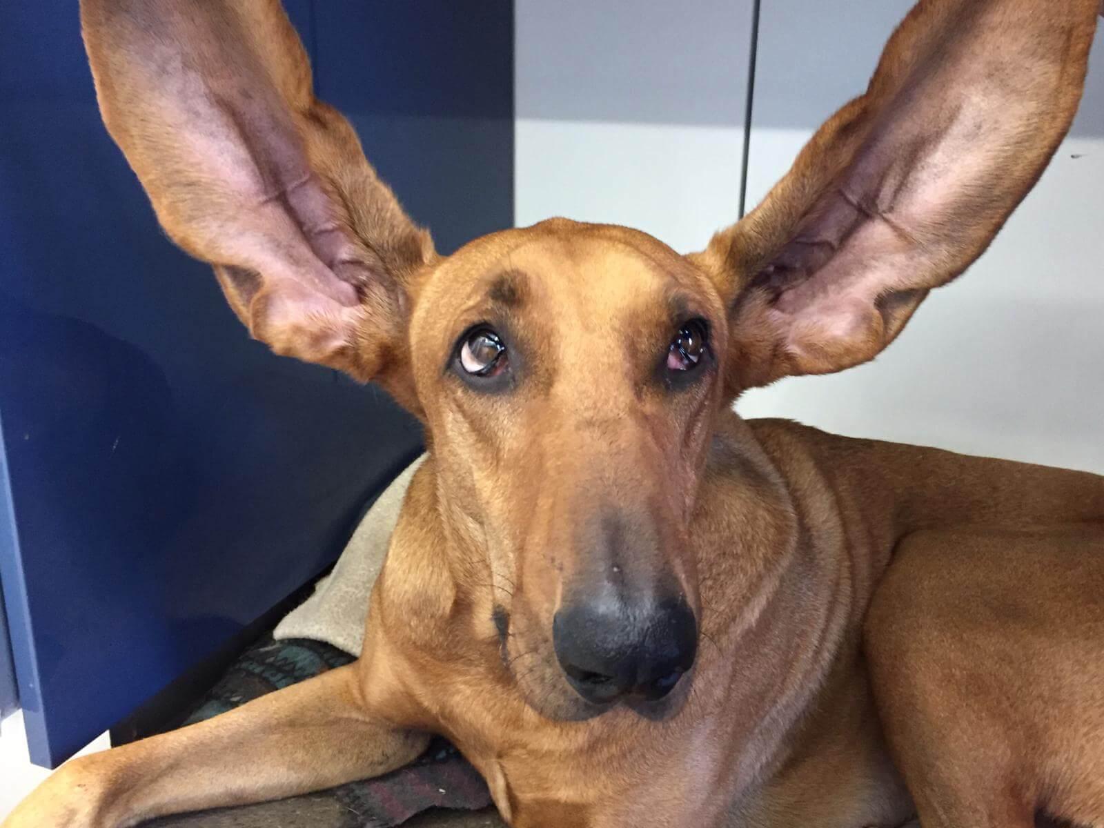 orecchie del cane come trattarle