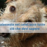Malassezia nel cane: ecco cose che devi sapere