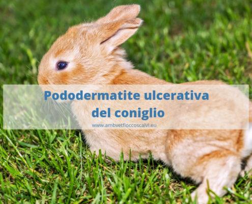 pododermatite del coniglio nano