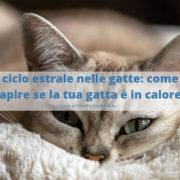 calore nella gatta femmina
