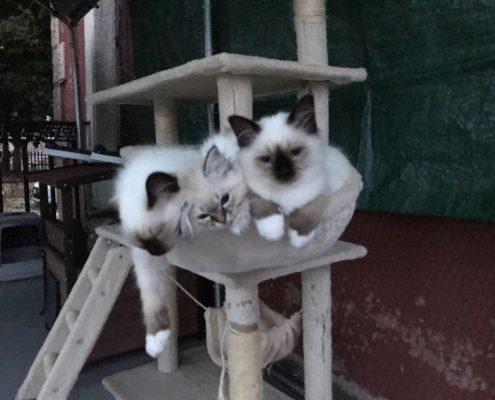 calore nelle gatte
