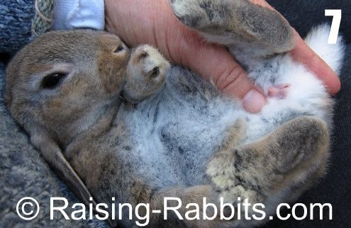 come riconoscere il sesso del coniglio