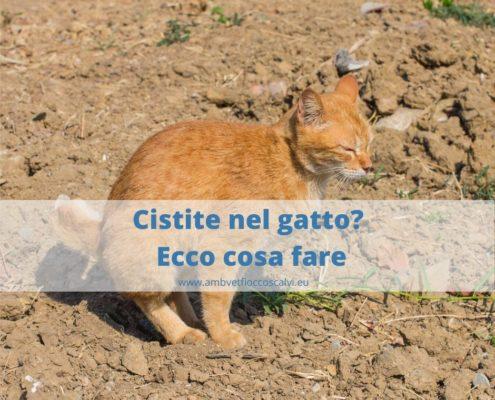 Cistite nel gatto