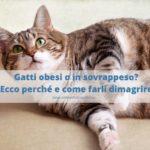 Gatto obeso: 5 mosse per farlo dimagrire