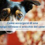 Come capire se il cane ha una spiga o forasacco?