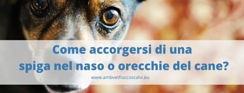 sintomi di spiga nel naso o orecchie cane